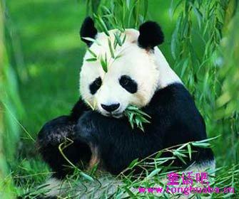 大熊猫 动物 335