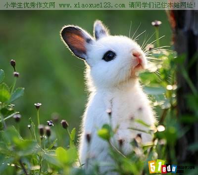 五年级看图写话:可爱的小白兔