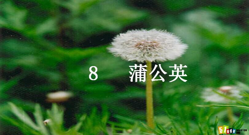 苏教版三年级语文上册课件:蒲公英课件(6)