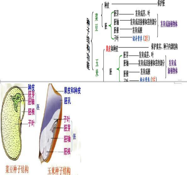 中考生物考点分析:种子的主要结构
