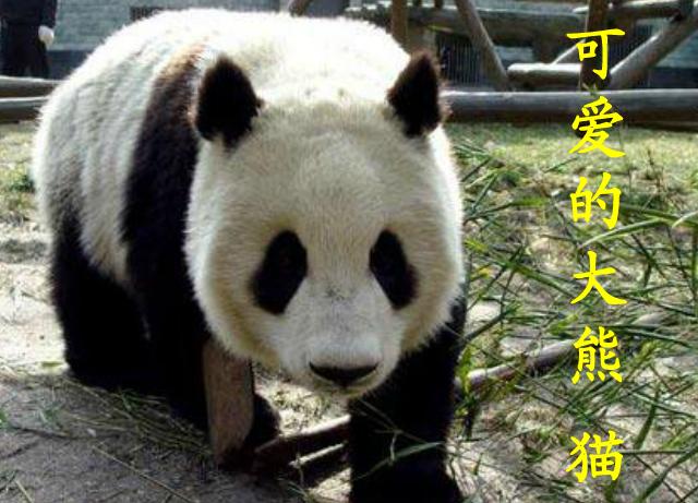 西师大版三年级上册语文课件ppt:《可爱的大熊猫》
